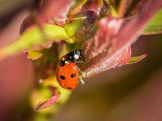 leveltetu ellen bio permet 04 Ladybug, Life Hacks, Plants, Animals, Beautiful, Lady Bug, Animais, Animales, Animaux
