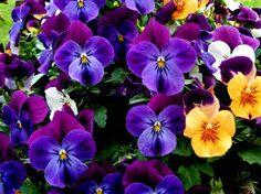 flores pensamientos - Buscar con Google