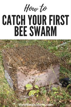 What do you do when your bees try to run away from home? You catch them – even when you have no idea what you are doing. Here's how you catch a bee swarm. Farm Gardens, Outdoor Gardens, Honey Bee Hives, Honey Bees, Honey Bee Swarm, Bee Facts, Bee Hive Plans, Beekeeping For Beginners, Raising Bees