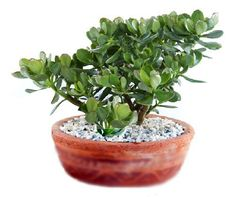 planta de jade en maceta