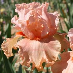 AUGUSTINE - Tall Bearded Iris - SHIPPED IN JULY