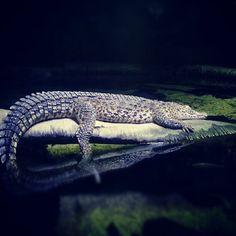 Sleeping Crocodile