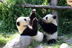 spielende Pandas, Tiergarten Schönbrunn