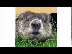 Marmotte Chiante - Tu est une pute ?    Une belle insulte gratuite pour toutes c'est connasses ! :P #maitrefun #marmotte #chiante #marmottechiante #vulgaire #humour #drole #comique