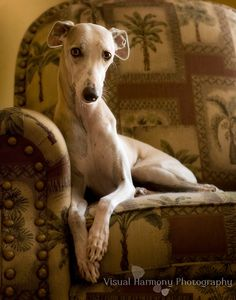 My baby girl, Skye, as seen thru Jill's lens. She's beautiful anyway, but this just proves she's GORGEOUS too!!! Whippet | Visual Harmony Photography Posted by Jill Flynn on Apr 7, 2011