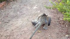 Baby Monkey fighting with a kitten Part 1