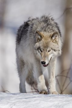 Gray wolf by Maxime Riendeau on 500px                              …