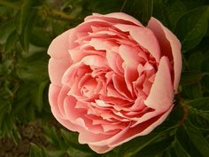 Peonia 'Etched Salmon'