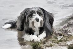 A bearded collie lays by the waters edge