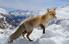 the sly red fox | wild red fox | ***♥The Sly Fox♥***