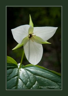 Trillium Clay Flowers, Green Flowers, Pretty Flowers, White Flowers, Woodland Flowers, Bleeding Hearts, Tattoo Flowers, Wonderful Flowers, My Secret Garden