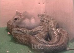 At a Japanese zoo, an unlikely surprise happened when the zoo keeper tried to feed a hamster to a rat snake. The snake refused to eat it! The two ended up becoming roommates, and the hamster even curls up for a nap on top of the snake.