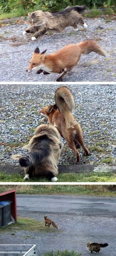 fox on the run, otherwise duty of the guard cat