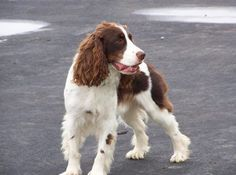 Spaniel Dog Breed Explained: What is a Spaniel?   Animal Bliss   Bloglovin'