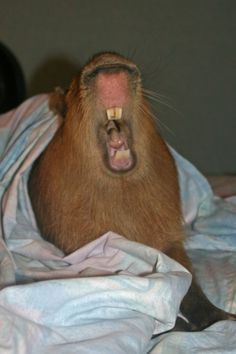 "Tumblr Users Love Capybaras.  ""No, no.  Go on.  I am interested in what you're saying."""