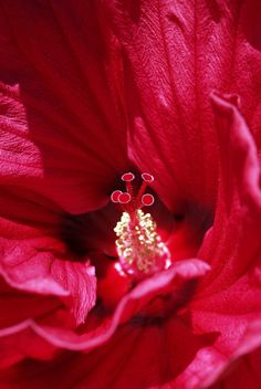 Hibiscus (detail) ~ Hawaii.