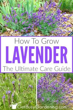 Drought-tolerant lavender is an easy-to-grow herb, and essential oils are made from the flowers. Lavender can be grown indoors or outdoors, and grows well in pots too. This detailed lavender plant care guide (to grow French, English and Spanish varieties) includes tips for planting, watering, soil, pruning, propagation, bugs and other problems, growing from seed, harvesting, what to do in winter, and more! #lavender #plantcare #herbs #plants #gardening