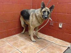 Pictures of CHASE a German Shepherd Dog for adoption in Downey, CA who needs a loving home.