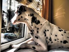 Oh my goodness! It's like Pongo looking out of the window from Roger's flat in 101 dalmatians!