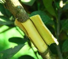 Marcotting or air layering is used in our farm to propagate fruit trees such as limau nipis, limau purut and lemon. We also use it to increase the numbers of any endangered tree we come across.