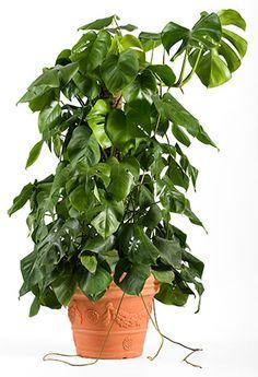 Peikonlehti hoito-ohjeet. Peikonlehti, eli jättipeikonlehti on kookas vihersisustuskasvi.