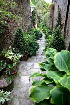 In between these very tall walls, containers add not just interest, but the varied plants add texture and beautiful, cooling variable green color. Although the stone path and beautiful walls are lovely, the walkway is greatly enhanced by these additions. The taller evergreens and occasional vine climbing up the wall lower the wall visually.