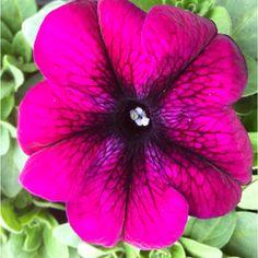 Had ik deze kleur petunia al eens laten zien? #dtv