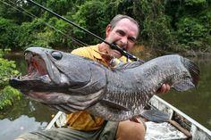 Franck Hiribarne and a marvellous aimara or wolf fish, taken somewhere deep in the jungle of French Guyana. Snakehead Fish, Compleat Angler, Ocean Food, Fish List, River Monsters, Monster Fishing, Vintage Fishing Lures, Wolf, Gone Fishing