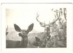 Stuffed Deer In A Natural History Museum by mrwaterslide, via Flickr