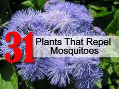 Mosquito repeling plants