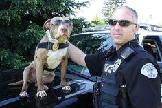 The American pit bull terrier makes an excellent police dog