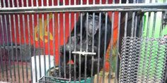 petition: Listen to his Hollywood Co-Star: Send Tonka the Chimp to a Sanctuary!