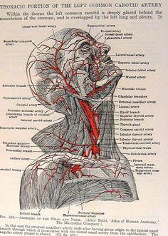 Arteries Head Neck 2 Sided 1933 Human Anatomy Illustration p610. $10.00, via Etsy.