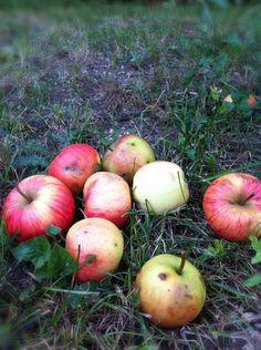 The season of an apple