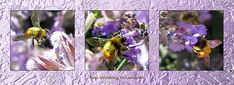 #Bees Working #Lavender Collection Triptyk by Michele Avanti original art, #artlovers Available in cards, prints, canvas, iphone covers & pillows