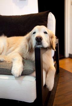 Shhhh... Golden wants to sleep!