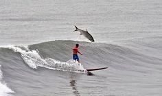 Davidsdigits Tarpon in the surf