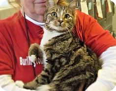 Westampton, NJ - Domestic Shorthair. Meet C-58517  Milton, a cat for adoption. http://www.adoptapet.com/pet/10971182-westampton-new-jersey-cat