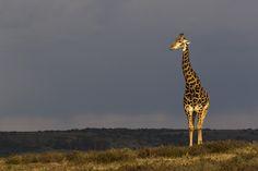Safari destination in South Africa. Private Games, Game Reserve, South Africa, Giraffe, Safari, Wildlife, Park, Animals, Giraffes
