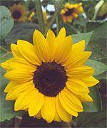 250 regular golden sunflower