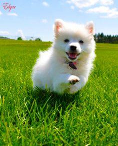 Miniature American Eskimo Dog