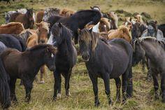 The Annual Horse Roundup at Sauðárkrókúr – Iceland For 91 Days