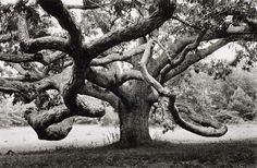 Alfred Eisenstaedt, Giant oak tree in N'Tisbury, Martha's Vineyard, Massachusetts, 1968