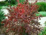 Blackhaw Viburnum Shrub/tree