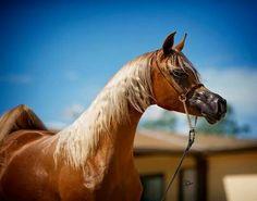 maybe my next horse will be a Palomino