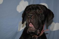 Thor is an adoptable Mastiff Dog in Springfield, OH. Thor is a big boy looking for his forever home, he is doing well here with other dogs and with us and he would love to come home with you!...