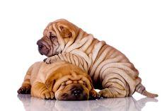 Shar Pei puppies snoozing