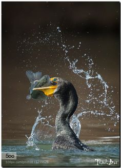 Cormorant caught a huge trout by ThinhBui. Please Like http://fb.me/go4photos and Follow @go4fotos Thank You. :-)