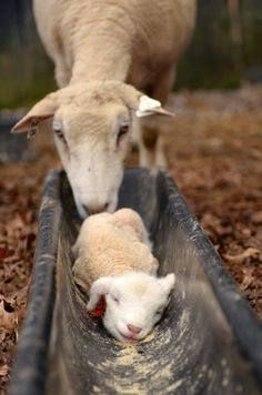 awwww factor, lamb in a feeding trough