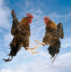 .Two Fighting Roosters in Mid-Air